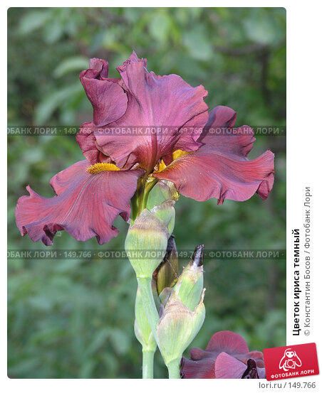 Купить «Цветок ириса темный», фото № 149766, снято 26 мая 2005 г. (c) Константин Босов / Фотобанк Лори