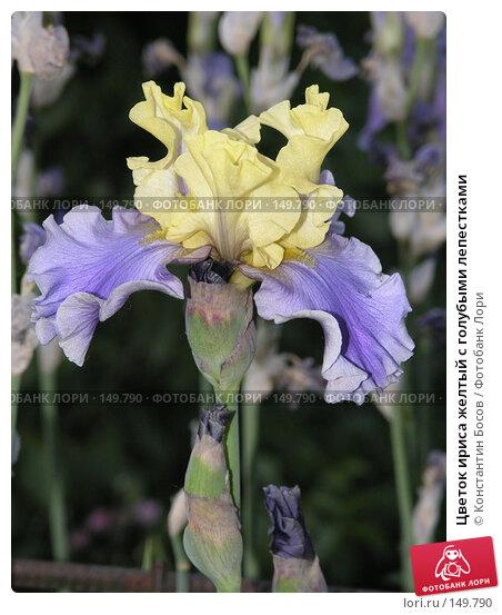 Цветок ириса желтый с голубыми лепестками, фото № 149790, снято 23 мая 2005 г. (c) Константин Босов / Фотобанк Лори