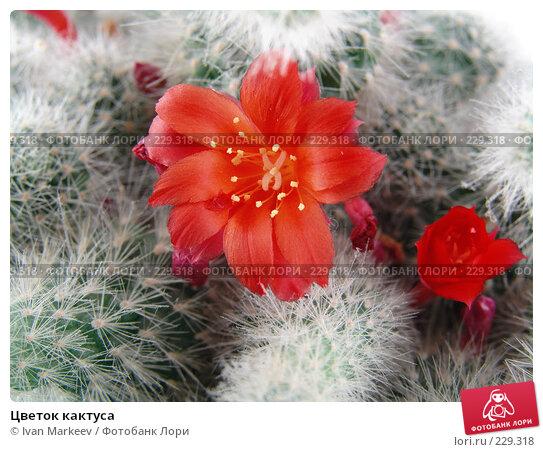 Цветок кактуса, фото № 229318, снято 22 марта 2008 г. (c) Василий Каргандюм / Фотобанк Лори