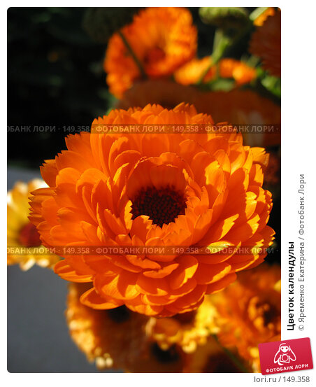 Цветок календулы, фото № 149358, снято 30 сентября 2007 г. (c) Яременко Екатерина / Фотобанк Лори