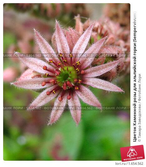 Купить «Цветок Каменной розы для альпийской горки (Sempervivum)», эксклюзивное фото № 1654562, снято 25 июля 2009 г. (c) Тамара Заводскова / Фотобанк Лори