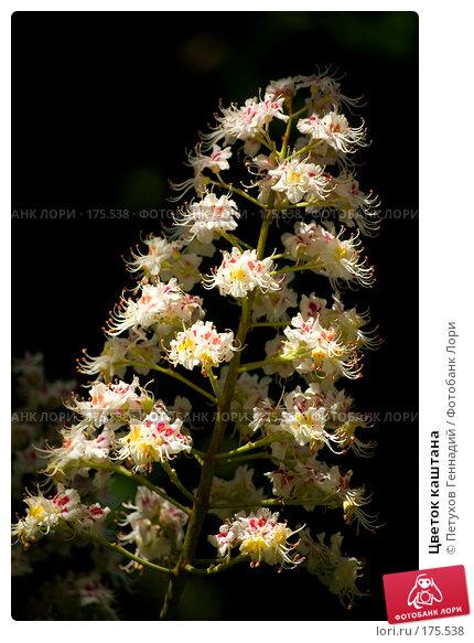 Цветок каштана, фото № 175538, снято 26 мая 2007 г. (c) Петухов Геннадий / Фотобанк Лори