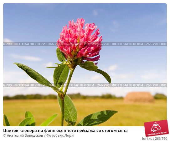 Цветок клевера на фоне осеннего пейзажа со стогом сена, фото № 266790, снято 5 августа 2006 г. (c) Анатолий Заводсков / Фотобанк Лори
