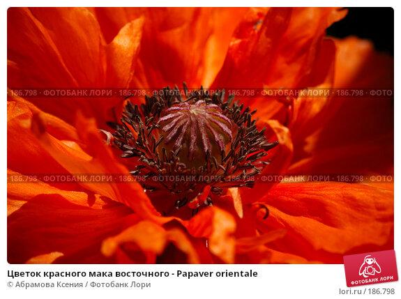 Цветок красного мака восточного - Papaver orientale, фото № 186798, снято 12 июня 2006 г. (c) Абрамова Ксения / Фотобанк Лори