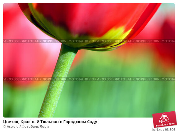 Цветок, Красный Тюльпан в Городском Саду, фото № 93306, снято 15 мая 2005 г. (c) Astroid / Фотобанк Лори