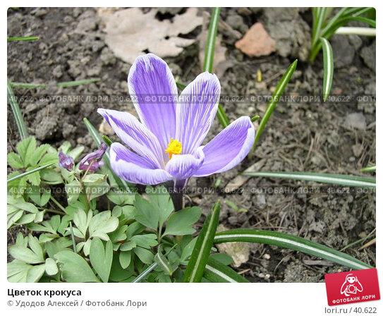 Цветок крокуса, фото № 40622, снято 18 апреля 2007 г. (c) Удодов Алексей / Фотобанк Лори