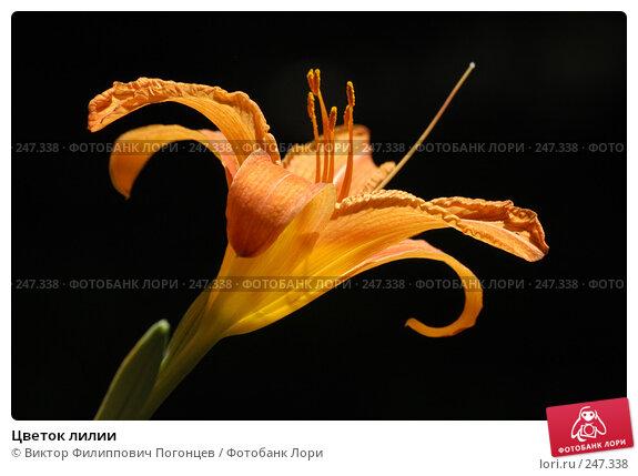 Цветок лилии, фото № 247338, снято 6 июля 2004 г. (c) Виктор Филиппович Погонцев / Фотобанк Лори