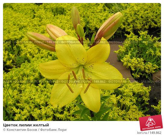 Купить «Цветок лилии желтый», фото № 149862, снято 22 апреля 2018 г. (c) Константин Босов / Фотобанк Лори