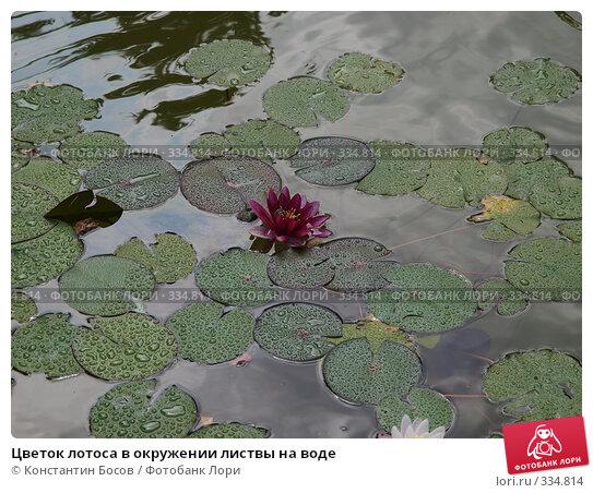 Цветок лотоса в окружении листвы на воде, фото № 334814, снято 24 октября 2016 г. (c) Константин Босов / Фотобанк Лори