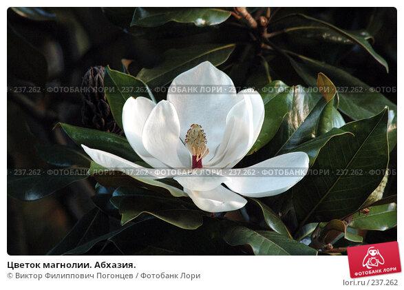 Купить «Цветок магнолии. Абхазия.», фото № 237262, снято 22 июля 2005 г. (c) Виктор Филиппович Погонцев / Фотобанк Лори