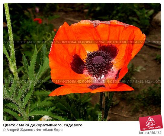 Цветок мака декоративного, садового, фото № 56162, снято 24 июня 2007 г. (c) Андрей Жданов / Фотобанк Лори