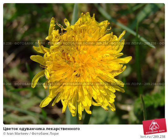 Цветок одуванчика лекарственного, фото № 289238, снято 15 мая 2008 г. (c) Василий Каргандюм / Фотобанк Лори