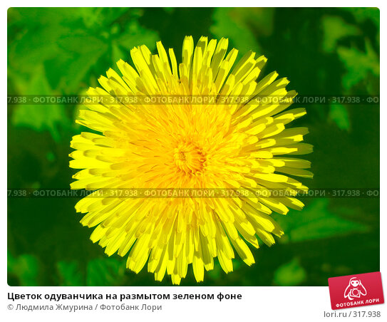Цветок одуванчика на размытом зеленом фоне, фото № 317938, снято 5 июня 2008 г. (c) Людмила Жмурина / Фотобанк Лори