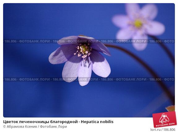 Цветок печеночницы благородной - Hepatica nobilis, фото № 186806, снято 29 апреля 2006 г. (c) Абрамова Ксения / Фотобанк Лори