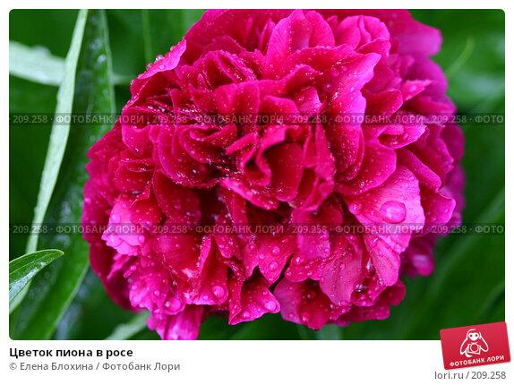 Цветок пиона в росе, фото № 209258, снято 27 мая 2007 г. (c) Елена Блохина / Фотобанк Лори