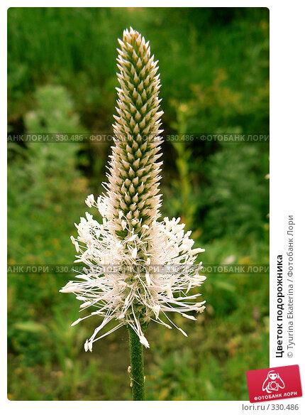 Цветок подорожника, фото № 330486, снято 6 июня 2008 г. (c) Tyurina Ekaterina / Фотобанк Лори