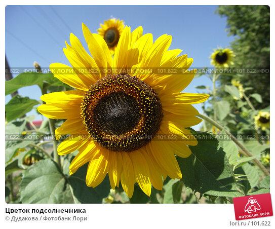 Цветок подсолнечника, фото № 101622, снято 14 августа 2007 г. (c) Дудакова / Фотобанк Лори