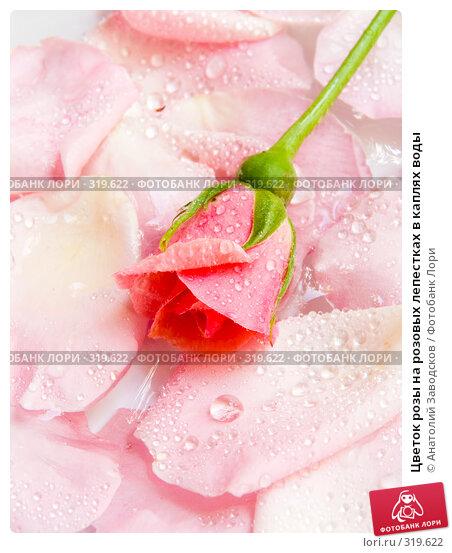 Цветок розы на розовых лепестках в каплях воды, фото № 319622, снято 1 июня 2007 г. (c) Анатолий Заводсков / Фотобанк Лори