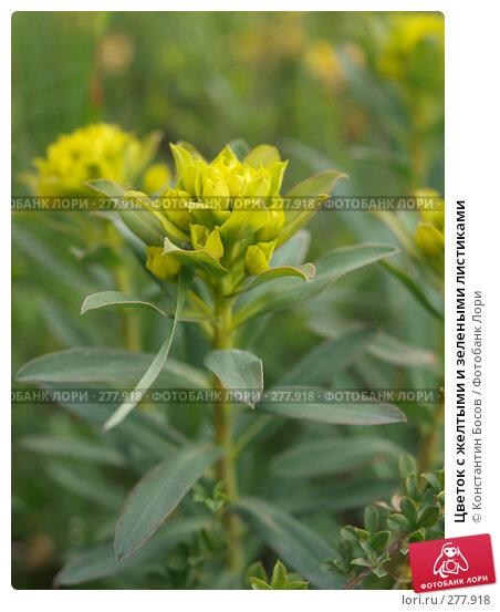 Цветок с желтыми и зелеными листиками, фото № 277918, снято 24 февраля 2017 г. (c) Константин Босов / Фотобанк Лори