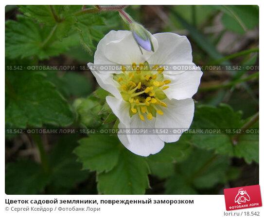 Цветок садовой земляники, поврежденный заморозком, фото № 18542, снято 27 мая 2006 г. (c) Сергей Ксейдор / Фотобанк Лори