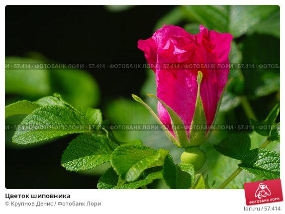 Цветок шиповника, фото № 57414, снято 30 мая 2007 г. (c) Крупнов Денис / Фотобанк Лори
