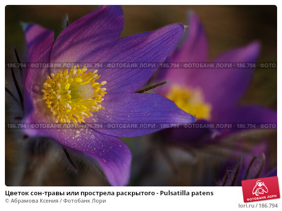 Цветок сон-травы или прострела раскрытого - Pulsatilla patens, фото № 186794, снято 30 апреля 2006 г. (c) Абрамова Ксения / Фотобанк Лори