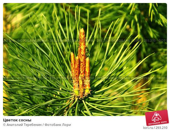 Цветок сосны, фото № 293210, снято 3 мая 2008 г. (c) Анатолий Теребенин / Фотобанк Лори