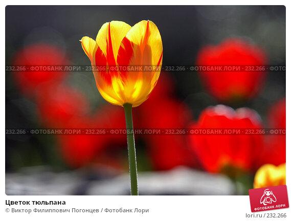 Цветок тюльпана, фото № 232266, снято 26 апреля 2005 г. (c) Виктор Филиппович Погонцев / Фотобанк Лори