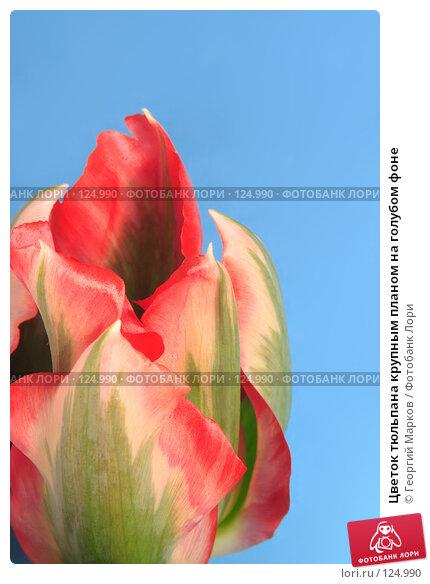 Цветок тюльпана крупным планом на голубом фоне, фото № 124990, снято 5 мая 2006 г. (c) Георгий Марков / Фотобанк Лори