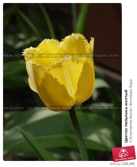 Цветок тюльпана желтый, фото № 258290, снято 30 апреля 2017 г. (c) Константин Босов / Фотобанк Лори