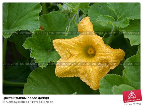 Цветок тыквы после дождя, фото № 2730, снято 23 октября 2016 г. (c) Юлия Кузнецова / Фотобанк Лори