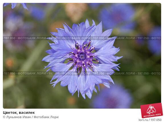 Цветок, василек, фото № 197050, снято 8 июля 2007 г. (c) Лукьянов Иван / Фотобанк Лори