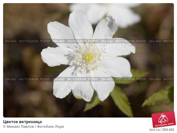 Купить «Цветок ветреница», фото № 284442, снято 8 мая 2008 г. (c) Михаил Павлов / Фотобанк Лори