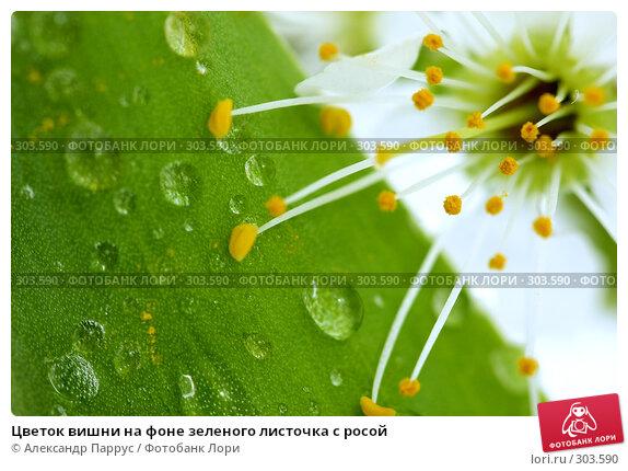 Цветок вишни на фоне зеленого листочка с росой, фото № 303590, снято 21 апреля 2008 г. (c) Александр Паррус / Фотобанк Лори
