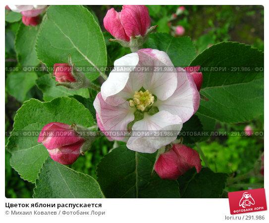 Купить «Цветок яблони распускается», фото № 291986, снято 3 мая 2008 г. (c) Михаил Ковалев / Фотобанк Лори