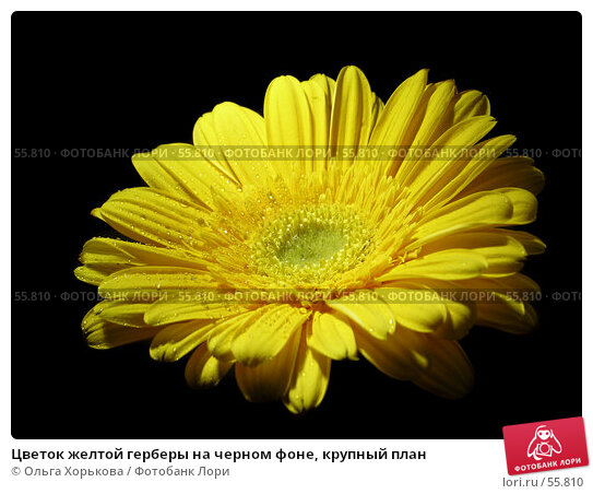 Цветок желтой герберы на черном фоне, крупный план, фото № 55810, снято 26 января 2007 г. (c) Ольга Хорькова / Фотобанк Лори