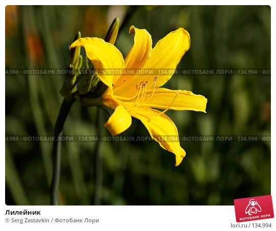 Цветок желтой лилии, фото № 134994, снято 20 июня 2006 г. (c) Serg Zastavkin / Фотобанк Лори