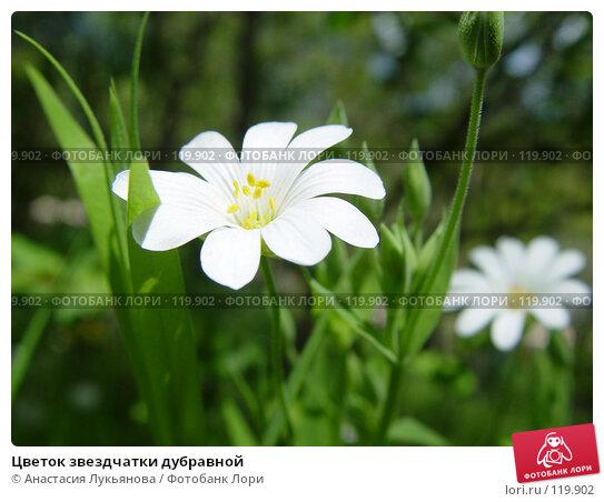 Купить «Цветок звездчатки дубравной», фото № 119902, снято 5 мая 2006 г. (c) Анастасия Лукьянова / Фотобанк Лори
