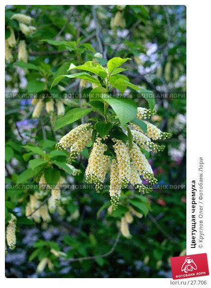 Цветущая черемуха, фото № 27706, снято 27 мая 2006 г. (c) Круглов Олег / Фотобанк Лори