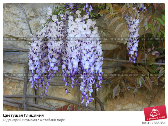 Цветущая Глициния, эксклюзивное фото № 368334, снято 1 мая 2008 г. (c) Дмитрий Нейман / Фотобанк Лори