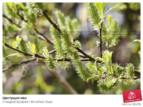 Цветущая ива, фото № 28678, снято 13 мая 2006 г. (c) Андрей Ерофеев / Фотобанк Лори
