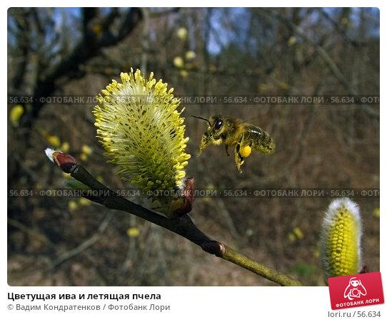 Цветущая ива и летящая пчела, фото № 56634, снято 21 января 2017 г. (c) Вадим Кондратенков / Фотобанк Лори