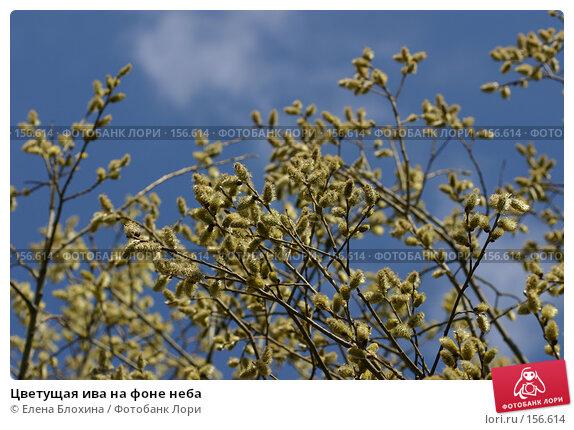 Купить «Цветущая ива на фоне неба», фото № 156614, снято 11 апреля 2007 г. (c) Елена Блохина / Фотобанк Лори