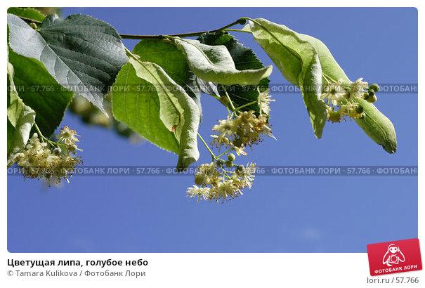 Цветущая липа, голубое небо, фото № 57766, снято 3 июля 2007 г. (c) Tamara Kulikova / Фотобанк Лори