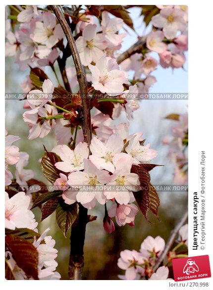 Цветущая сакура, фото № 270998, снято 1 мая 2008 г. (c) Георгий Марков / Фотобанк Лори
