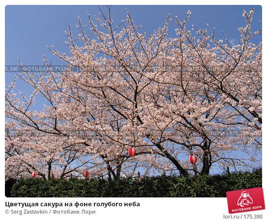Цветущая сакура на фоне голубого неба, фото № 175390, снято 3 апреля 2007 г. (c) Serg Zastavkin / Фотобанк Лори