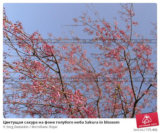 Цветущая сакура на фоне голубого неба Sakura in blossom, фото № 175406, снято 3 апреля 2007 г. (c) Serg Zastavkin / Фотобанк Лори