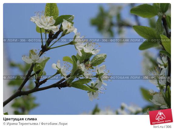 Цветущая слива, эксклюзивное фото № 306, снято 15 мая 2005 г. (c) Ирина Терентьева / Фотобанк Лори
