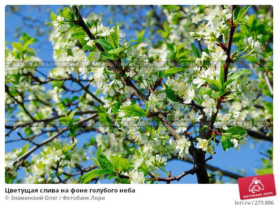 Цветущая слива на фоне голубого неба, эксклюзивное фото № 273886, снято 3 мая 2008 г. (c) Знаменский Олег / Фотобанк Лори