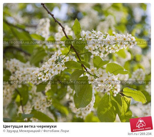 Цветущая ветка черемухи, фото № 269234, снято 29 апреля 2008 г. (c) Эдуард Межерицкий / Фотобанк Лори